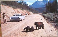 Montana Postcard MOTHER BEAR & CUBS Logan Pass Glacier National Park DJ Schmidt