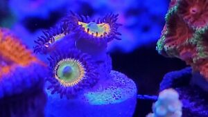 Live Coral Sunny D's Zoanthids Zoas Aquatic Bobs WYSIWYG