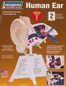 "LINDBERG 7 1/4"" HUMAN EAR MODEL KIT BODY PARTS MALE FEMALE SCIENCE 71308 BNIB"