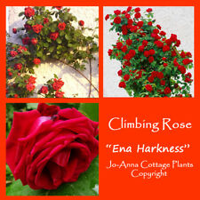 ENA HARKNESS CLIMBING ROSE SCENTED REPEAT FLOWERING BARE ROOT  ** ANY 4 FOR 3 **
