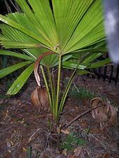 Licuala ramsayi - Australian Fan Palm - 10 Seeds
