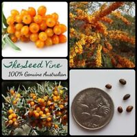 20+ SEABERRY SEEDS (Hippophae rhamnoides) Sea Buckthorn Edible Medicinal