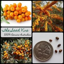 10 SEABERRY SEEDS (Hippophae rhamnoides) Sea Buckthorn Edible Medicinal