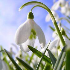 BUY NOW! 100 Single Snowdrop (Galanthus Nivalis) Fresh Spring Flowering Bulbs