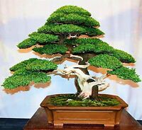 Bonsai Tree Potted Flowers Seeds Decor Air Purifier Absorbent Home Decorations