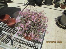 Monster Specium Species Den. Loddigesii In Bloom & Bud,Must Have Huge Plant