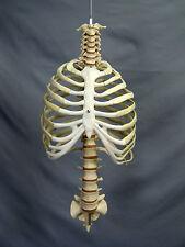 Skeleton Life-Size Spine w/ Rib Cage, Harvey Halloween Haunt, NEW