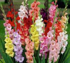 10 Gladiolus Bulbs-Spectacular Rainbow Mix(Pack of 10 Bulbs)Deer Resistant