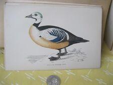 Vintage Print,STELLERS WESTERN DUCK,History British Birds,Morris,c1870