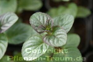 Orangen-Minze  1 Pflanze Mentha Teekraut winterhart Staude
