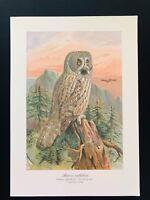 Antique Bird Print-Tengmalm's Lapland  Owl SCHLEIEREULE-Plate Naumann-1896