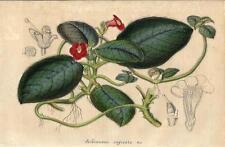 Stampa antica FIORI Achimenes cupreata botanica 1847 Old antique print flowers