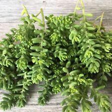 50+  Sedum Species Sedum Brevifolium Unrooted Cuttings Ground Cover, Stonecrop