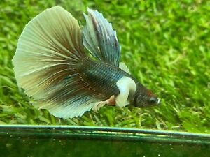 Live Betta Fish - Male - Fancy Dumbo Betta HMPK , Age 4 month From Thailand