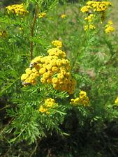 """1 Plant de """" Tanaisie Vulgaire bio """",(plusieurs racines),vivace!"""