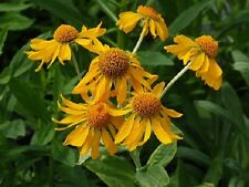 50+ Helenium Hoopesii Golden Flower Seeds / Perennial