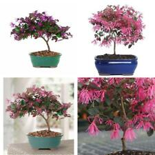Fringe Flower Bonsai Live Plant Tree 5 Years Garden Outdoor Best Gift Yard Home