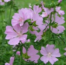Pink Musk Mallow / Malva moschata / Wildflower and Garden Plant / 200 seeds