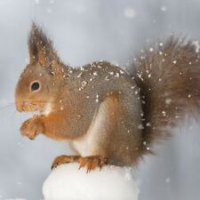 6 x Red Squirrel Christmas Cards Pack British Winter Wildlife Nature FREE Post!