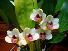 Bifrenaria harrisoniae species orchid Large plant