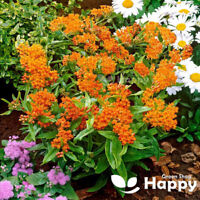 BUTTERFLY WEED - 50 seeds - Asclepias tuberosa - Perennial first year flowering