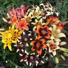 Asiatic Lily 3 Bulbs - Tango Mix Hardy