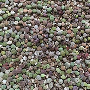 0.8-1.5cm Mix Succulent Plant Lithops Cactus Rare Living Stones Random