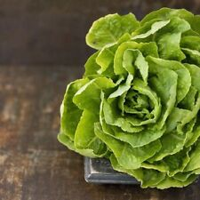 600+ Butter Crunch Lettuce Seeds- Open Pollinated-NON GMO-Organic