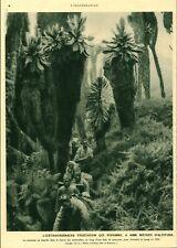 Document ancien végétation à 4000 mètres d'altitude Ruwenzori issue de magazine