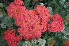 Rote Schafgarbe Achilea millefolium Paprika Sommerblüher