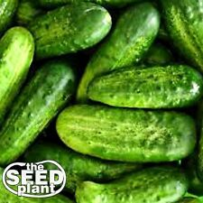 National Pickling Cucumber Seeds - 50 SEEDS-SAME DAY SHIPPING