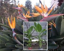 Die schönste Blume : Riesen-Paradiesvogelblume : Strelitzie von Madeira .. Samen
