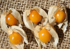 Goldenberry   Cape Gooseberry   Physalis peruviana   10 Seeds   (Free Shipping)