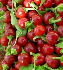 50 Seeds Chile Cascabel  Pepper Chili bola  from Texas