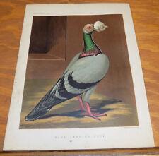 1876 Antique COLOR Pigeon Print///BLUE CARRIER COCK (Walnut-Shaped Wattle)