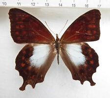 Satyridae, lasiophila Cirta M EX San Martin, Nord-Perù, N. 230
