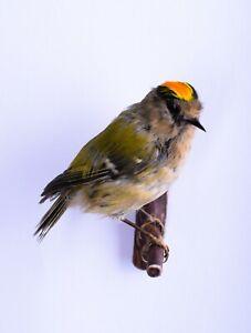 Taxidermy Goldcrest Bird Real animal Stuffed mount Regulus regulus