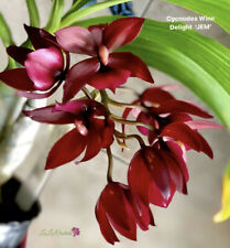 Cycnodes Wine Delight - Orchid Plant