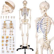 Tectake modello Medico Scheletro umano 181cm grandezza Naturale