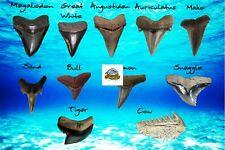 DETAILED SHARK TOOTH IDENTIFICATION CARD IDENTIFY ELEVEN SHARK TEETH TYPES