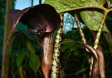 Arisamea speciosum Patterend Stem Amazing Exotic Voodoo Lily Flower Small Bulbs