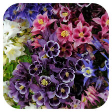 Aquilegia Winky mix  columbine x 12 mini plug plants  for potting on