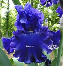 "Tall Bearded ""Spirit Mountain"" Iris - Dark Blue Violet '02 * Plant * Pre-Sale"