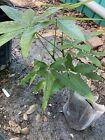 Money Tree 1 Live Plant 12+