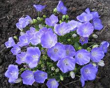 Tussock Bellflower- Blue, 500 seeds (Campanula carpatica) | TSCseeds