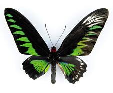 BUTTERFLY - Trogonoptera brookiana albescens (GYNANDROMORPH) - MALAYSIA - 7791