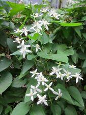 488 Clematis Vine Seeds Fragrant White Sweet Autumn Virgins Bower Wyldflower