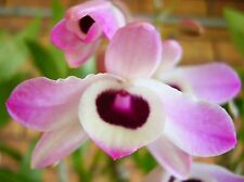 DO1 - Dendrobium Nobile Orchid - Near Flowering Size - In 60mm pot