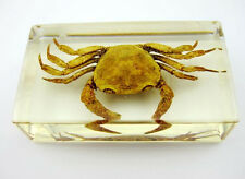 Crab Crustacean Insect Taxidermy Paperweight