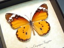 Real Framed Danaus Chrysippus Aegyptius African Monarch Butterfly 8171